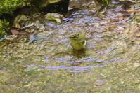 ムシクイ水浴び後 - 奥武蔵の自然