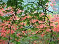 緑の紅葉と紅いヤマツツジのモザイク・・・赤城自然園 - 『私のデジタル写真眼』