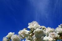 長居植物園のバラ - 司法書士 行政書士の青空さんぽ