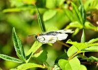 年に一度 5月頃だけに見られる蝶とふつうの蝶 - なんでもブログ2
