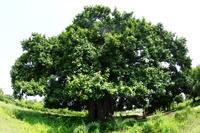 ブッダガヤのトトロの樹と正覚山 - はーとらんど写真感