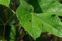 ■ドウガネサルハムシ20.5.27(アカガネサルハムシ、アカスジキンカメムシとともに) - 舞岡公園の自然2