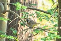 クロツグミ、オオルリなど(緊急事態宣言の4月の振り返り(2)) - 週末バーダーのBirding記録