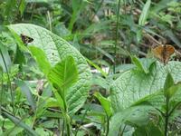 メスグロヒョウモンとコチャバネセセリ - 秩父の蝶