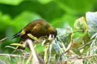カワラヒワ - そらと林と鳥