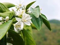 ザ・みかんみかんの花咲く様子(2020年)と春草を有機肥料に!!元気いっぱいの果樹で育てます!! - FLCパートナーズストア