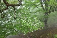 霧の中のシロヤシオを見て歩く千里峰~大黒尾根 - 峰さんの山あるき