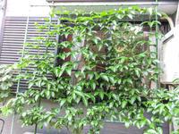 パッションフルーツ 2020 花芽から蕾に昇格 - にゃんてワンダホー!