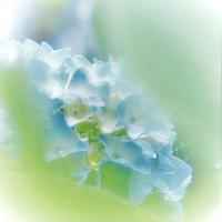ブルーの元気な、紫陽花、坊や! - 花々の記憶  happy momo