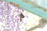 公園の藤にクマバチさん - It's only photo 2