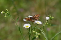 コヒョウモンモドキ高原の蝶を探す - 蝶のいる風景blog