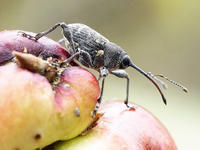 ナラメリンゴフシにかかわる観察(3)ミヤマシギゾウムシ - 自然観察大学ブログ