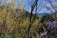 輝く山茱萸 - katsuのヘタッピ風景