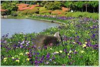 もういちど「南楽園花菖蒲」 - ハチミツの海を渡る風の音