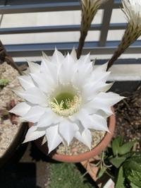 サボテンの花 - さんしゅゆの花