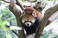 レッサーパンダ親子「アズキ&ずん」~国内唯一のカササギガンとテントウムシのサンバ(多摩動物公園 July 2019) - 続々・動物園ありマス。