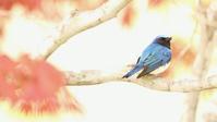 オオルリ - 北の野鳥たち