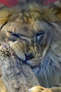 2020.5.29 宇都宮動物園☆ライオンのゴウくん【Lion】 - 青空に浮かぶ月を眺めながら