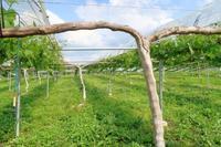 ピオーネの誘引 - ~葡萄と田舎時間~ 西田葡萄園のブログ