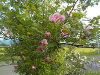 山椒薔薇が咲きました(No.211) - 薪窯冬青 犬と山暮らし