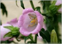庭の花-17 - 野鳥の素顔 <野鳥と日々の出来事>