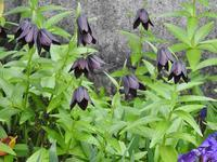 庭の草花(クロユリ) - 小さなお庭のある家3