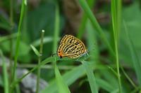 ウラナミアカシジミゼフの季節始まる - 蝶のいる風景blog