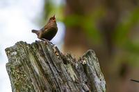 鷦鷯(ミソサザイ) - 野鳥などの撮影記録