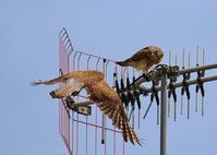 アンテナの上で、 - ぶらり探鳥