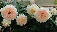つるバラ達 - Rose & Mary