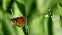 小満麦秋至 - 紀州里山の蝶たち