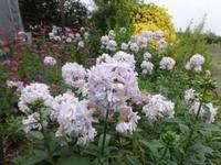 八重咲きシャボンソウ - だんご虫の花