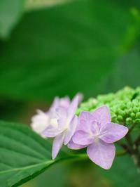 紫陽花の季節 - いや、だから 姉ちゃん じゃなくて ネイチャー・・・ その2