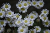 白い花 - たなぼた