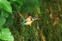 N川のカワセミ、5月下旬。ISO3200特集。 - 小川の野鳥達