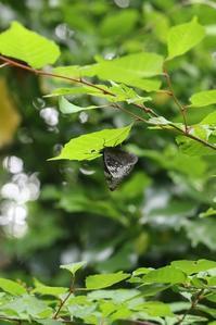 スミナガシの産卵など - 蝶超天国