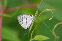 ミズイロオナガシジミ雑木林の麗夫人 - 蝶のいる風景blog