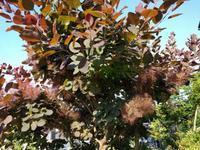 スモークツリー - natural garden~ shueの庭いじりと日々の覚書き
