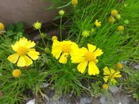 松葉団子菊 - だんご虫の花