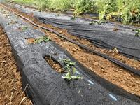 サツマイモ植え付けとタマネギ収穫 - 週末農夫コーディーのイケてる鍬の振るい方
