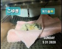 烏骨鶏のヒヨコ誕生 - 烏骨鶏かわいいブログ