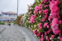 バラが咲いた - BobのCamera