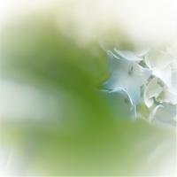 紫陽花に合える、しあわせ!・ - 花々の記憶  happy momo