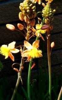 """オーニソがラムみたいな花は""""ハナアロエ""""って名前だとわかりました! - 健気に育つ植物たち"""