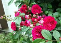 ♪ バラが咲いた - 東金、折々の風景