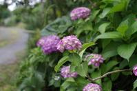 紫陽花に思う - お庭のおと