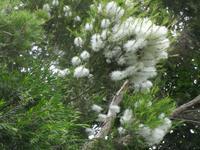 メラレウカ - だんご虫の花