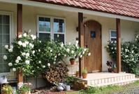 """バラ""""マダムアルフレッドキャリエール""""が満開♪ - ペコリの庭と時々パン"""