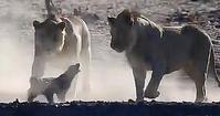 三頭のライオンとラーテルの争い - アニマル情報202X