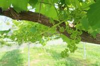 今日から花切開始 - ~葡萄と田舎時間~ 西田葡萄園のブログ